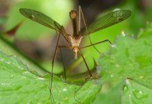 L'Ajuntament aprova l'ordenança per al control de mosquits amb rellevància per a la salut pública