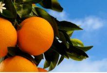 L'agricultura valenciana, en desavantatge per la legislació europea