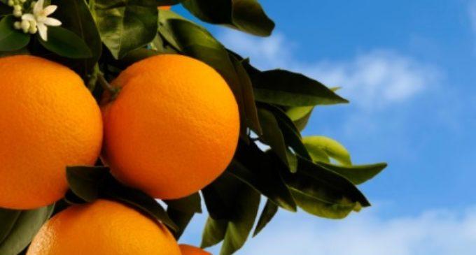 Mites i veritats de la famosa taronja valenciana