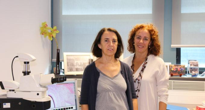 L'Institut del Clínic i la Universitat de València investiguen com combinar cèl·lules amb materials per a regenerar el cartílag de les articulacions