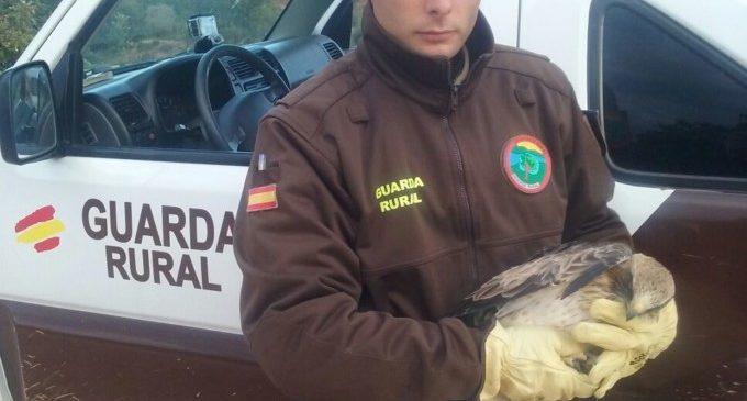 Rescaten a una àguila calçada ferida després d'estavellar-se amb l'estesa elèctrica