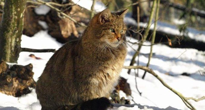 Una història més d'oblit: el gat salvatge europeu