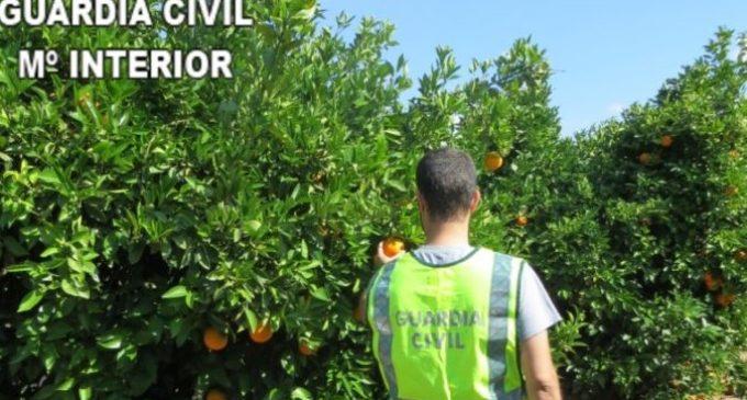 La Guàrdia Civil procedeix contra 10 persones per delictes relacionats amb l'origen il·lícit de 858.000 quilos de taronges en la província de València