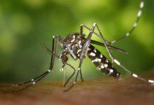 El Pleno del Ayuntamiento de Alzira aprueba una ordenanza para el control del mosquito tigre con relevancia para la salud pública