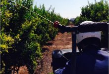 La Generalitat inicia els tractaments terrestres contra la mosca de la fruita en zones citrícoles i de caqui