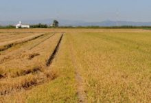 Mesures per a prevenir la baixada del preu de l'arròs