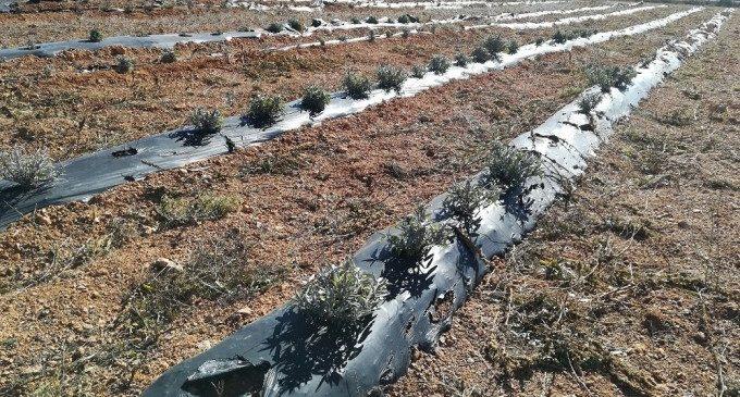 La Diputació impulsa el cultiu de plantes aromàtiques a Alcublas per afavorir el creixement del municipi