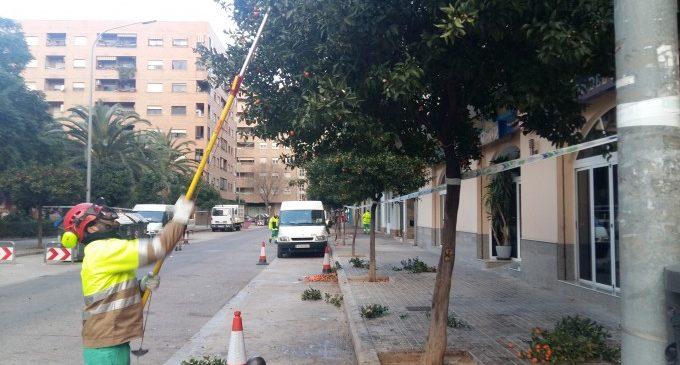 Comença la retirada de les taronges amargues dels carrers de la ciutat