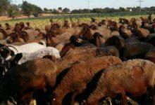 La ramaderia s'introduirà al barranc de Benimàmet i al llit nou del Túria