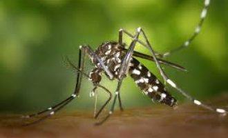 Alzira continua amb els tractaments periòdics per al mosquit tigre