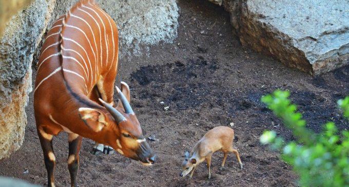 Naix la segona cria d'un Duiker roig en Bioparc València