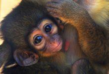 Naix en Bioparc el primat més xicotet d'Àfrica