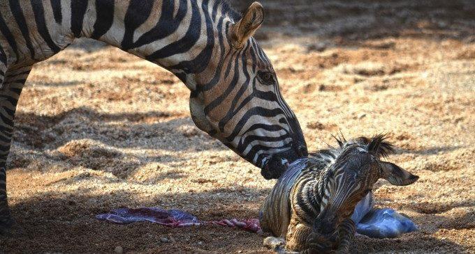 Els cuidadors de Bioparc salven una zebra nounada de morir ofegada