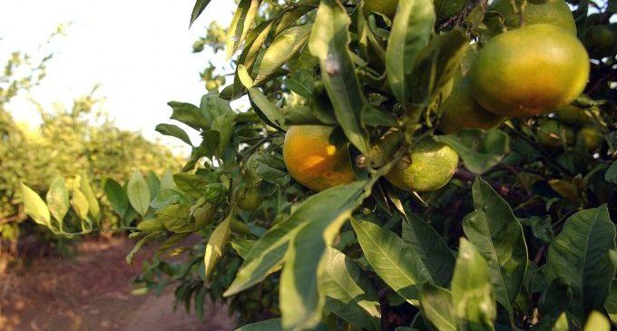 La taronja valenciana reuneix forces per a plantar cara a l'estrangera
