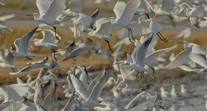 Ja són 440 les aus mortes en el Tancat de la Pipa a causa d'un brot de botulisme aviari