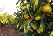 El PSPV demana reforçar la presència del sector citrícola valencià a Europa i ordenar el mercat de la Comunitat