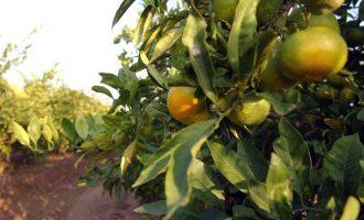 El PSPV pide reforzar la presencia del sector citrícola valenciano en Europa y ordenar el mercado de la Comunitat
