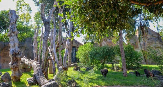 Els goril·les del Bioparc 'estrenen' la reforma del seu hàbitat