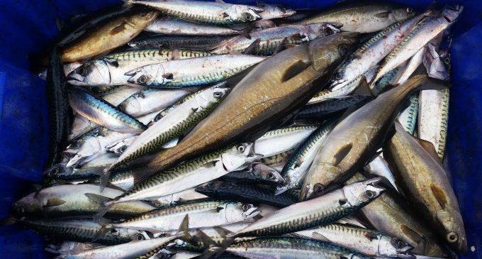 Experts de la Fe recomanen revisar el peix de besllum i cuidar la cocció per a previndre l'anisakiosis