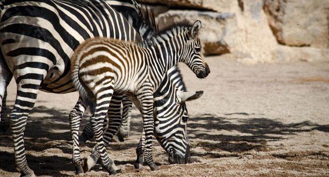 Naix el primer poltre de zebra de la temporada en Bioparc