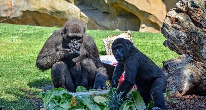 La goril·la Virunga del Bioparc celebra el seu tercer aniversari entre regals i amb una pastís de les seues delícies favorites