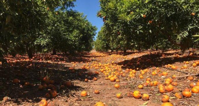 LA UNIÓ de Llauradors critica que no s'hagen materialitzat les ajudes promeses al sector citrícola