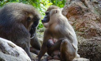 Nacen en Bioparc Valencia el mismo día dos crías de dril, un primate africano en grave riesgo de extinción