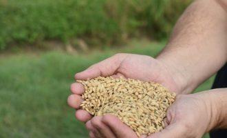Alfafar inicia la recollida de l'arròs