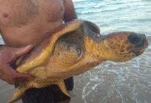 Bañistas encuentran una tortuga varada en Gandia que se recuperará en el Oceanogràfic