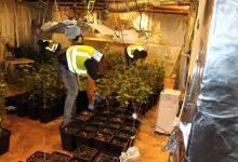 Desmantelan más de 600 plantas de marihuana en un garaje de Torrent