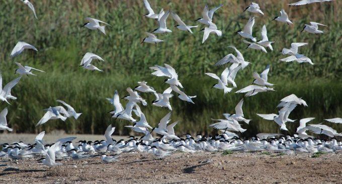 Cerca de 2.900 parejas reproductoras de aves en el Racó de l'Olla