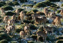 Cabras silvestres, agentes de la Emergencia Climática