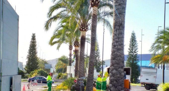 Gandia inicia la poda de 200 palmeres en l'accés sud de la ciutat