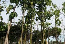 L'Ajuntament inicia la plantació de nou arbrat en Campanar