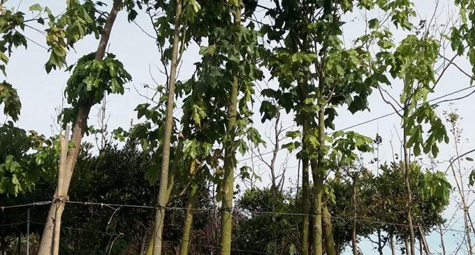 Comença la plantació d'arbres en el carrer Hernández Lázaro