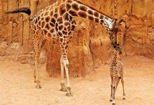 Mor la girafa Che als 24 anys, que va arribar de Vivers a Bioparc