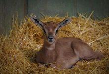 Nace en Bioparc Valencia una cría de gacela Mhorr
