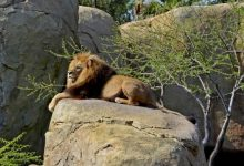 Mor el lleó Teimoso de Bioparc als 14 anys