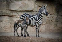 Naix al Bioparc un poltre de zebra quasi amenaçada després de la mort del lleó Teimoso