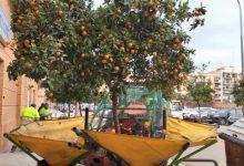 València retira 75 tones de taronges dels arbres urbans