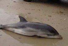 Apareixen set dofins encallats a la Comunitat Valenciana com a conseqüència del temporal marítim