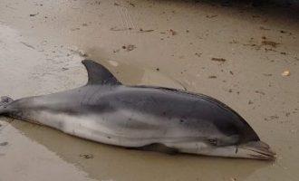 Aparecen siete delfines varados en la Comunitat Valenciana como consecuencia del temporal marítimo
