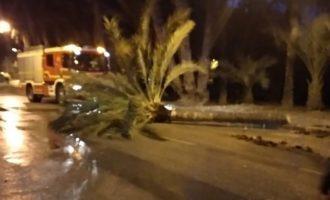Dos heridos al caer una palmera sobre un coche Orihuela y provocar un accidente