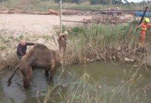 Rescatan a un dromedario que se había caído en una acequia en Alfafar