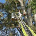 L'Ajuntament estableix un dispositiu per a la poda d'un dels seus arbres monumentals a Benimàmet en col·laboració amb els bombers