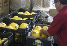 Comença la venda del Meló d'Or d'Ontinyent als comerços locals