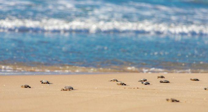 Alliberades 23 tortugues babaues a la platja de Cullera