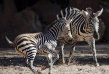 Naix la primera zebra de l'any en Bioparc València