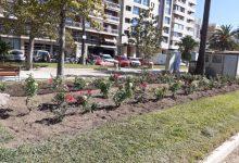 Es renoven els parterres del Passeig de l'Albereda amb rosers de major floració