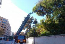 València trabaja en la poda del pino centenario de los Jardines de Monforte
